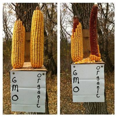 GMO corn Vs Organic